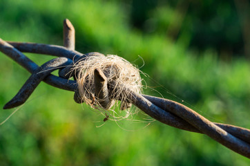 Cow hair wrapped around barbs on a wire farm fence.