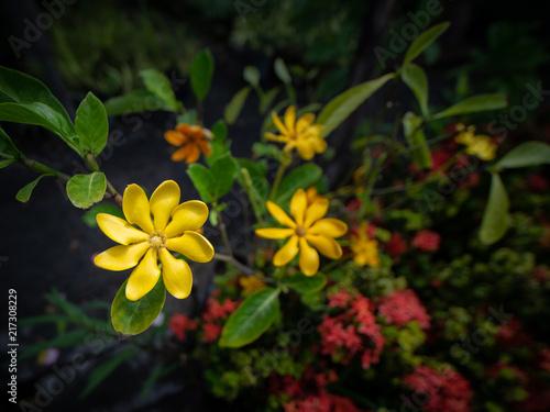 Yellow gardenia flowers blooming stock photo and royalty free yellow gardenia flowers blooming mightylinksfo