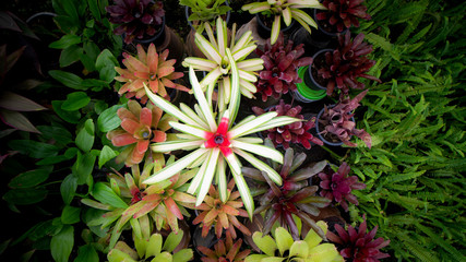 White Bromeliad in Red Blooming