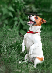 Portrait of happy barking small white and red dog jack russel terrier standing on its hind paws and looking up outside in park on green grass blurred background