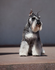Beautiful Miniature Schnauzer Zwergschnauzer dog color pepper and salt
