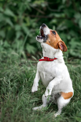 Portrait of heatedly barking small white and red dog jack russel terrier standing on its hind paws and looking up outside on green grass blurred background