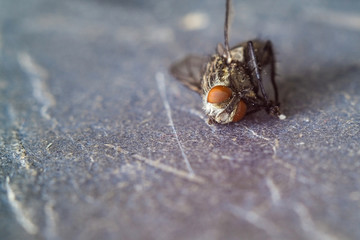 The fly lies on its side, close-up, macro.
