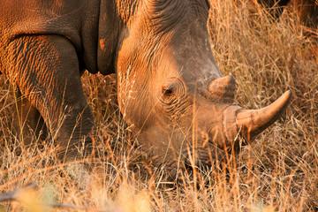 White Rhinoceros feeding on the dry winter grass