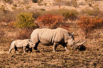 White Rhinoceros cow with her young calf strolling across the recently burnt savanna