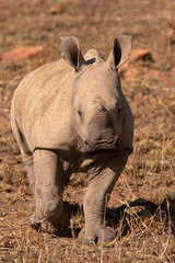 White Rhinoceros calf staring curiously at the intrusion