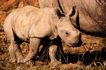 White Rhinoceros calf keeping close to its mother