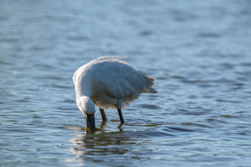 Eurasian Spoonbill (Platalea leucorodia) fishing in a lake