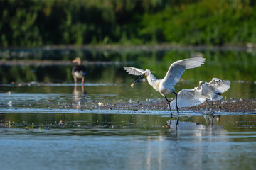 Adult and juvenile Eurasian Spoonbill (Platalea leucorodia) in their natural habitat