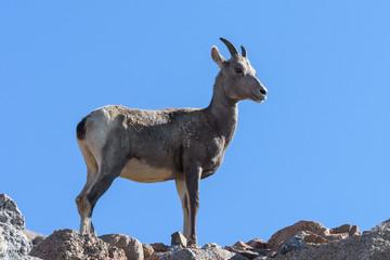 Colorado Rocky Mountain Bighorn Sheep. Young Ewe surveying the landscape