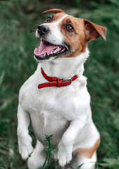 Closeup portrait of jumping small happy white and red dog jack russel terrier standing on its hind paws and looking up outside in park on green grass blurred background