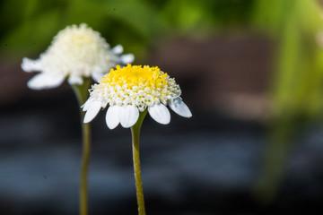 Chrysanthemum flower, close-up of small white flower.