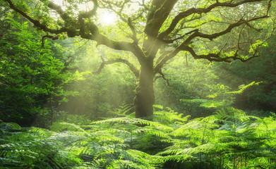 Landschaft Eiche in Waldlichtung mit Farn und Sonnenstrahlen - Landscape Oak in forest glade with fern and sunbeams