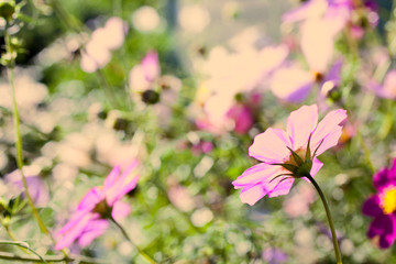 Pink and white flowers. Delicate flowers space outdoors closeup.