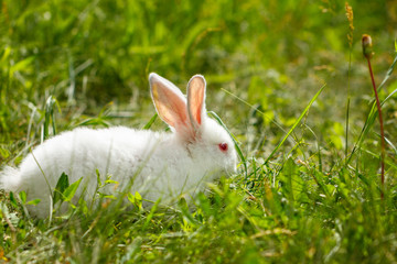 white rabbit in green grass