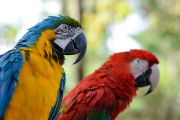 Portrait beautiful colorful red blue orange yellow green macaw parrot birds in outdoor park.International Migratory Bird Day, World Migratory Bird Day. Exotic pets