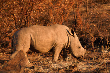 White Rhinoceros calf following on behind its mother