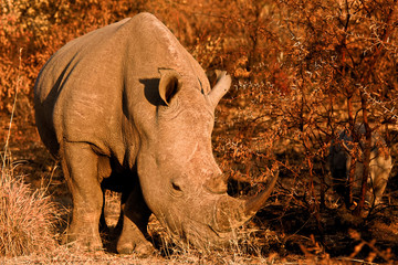 White Rhinoceros mother with her calf in close attendance in the bushes