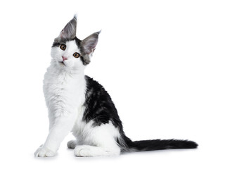 Cute white with blue tabby harlequin maine coon cat kitten sitting side ways looking straight in camera, isolated on white background