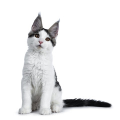 Cute white with blue tabby harlequin maine coon cat sitting straight up and looking up, isolated on white background