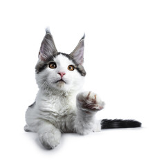Cute white with blue tabby harlequin maine coon cat kitten laying down, looking up while lifting front paw, isolated on white background