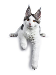 Cute white with blue tabby harlequin maine coon cat kitten laying down with paws hanging over edge looking straight in camera, isolated on white background