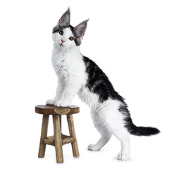 Cute white with blue tabby harlequin maine coon cat kitten standing with front paws on a small wooden stool side ways looking straight in camera, isolated on white background