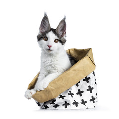 Cute white with blue tabby harlequin maine coon cat kitten sitting side ways in a white with brown paper bag decorated with black crosses with, looking straight in camera, isolated on white background