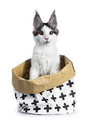 Cute white with blue tabby harlequin maine coon cat kitten sitting up in a white with brown paper bag decorated with black crosses, looking straight in camera, isolated on white background