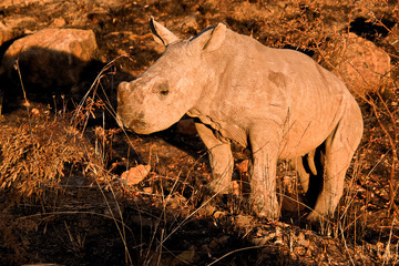 White Rhinoceros calf standing still but curious as to the nearby vehicle activity