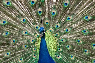 Indian peafowl.