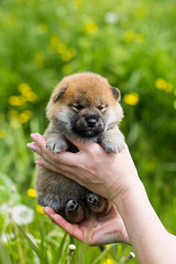 Portrait of adorable two weeks old shiba inu puppy in the hands of the owner in the buttercup meadow