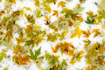 Autumn background, green and yellow sycamore leaves on the first snow. Snow fell in early autumn when the trees were covered with leaves. Fallen leaves in the snow.