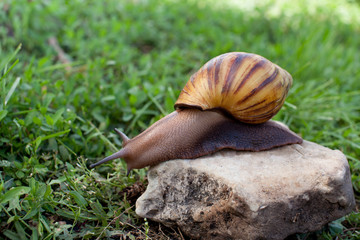 Snail for facial skin care on a stone in the garden