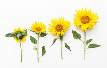 Young sunflowers on a white background.