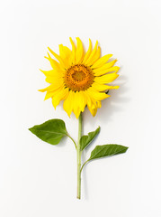Young Mature sunflower on white background.