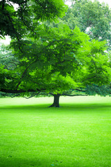 Beautiful greenery of lush summer tree and green grass