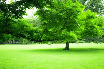 Beautiful greenery of lush summer tree and green grass