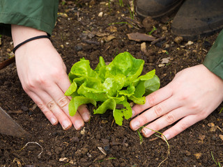 woman Hands picking organic fresh agricultural lettuce