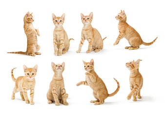 Cute Orange Tabby Kitten in Different Positions