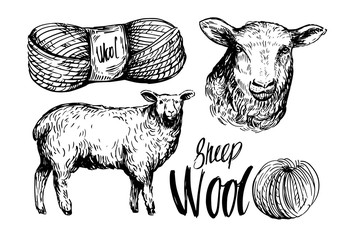 Sheep sketch. Wool. Hand drawn vector illustration. Isolated on white background.