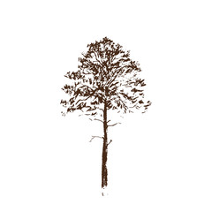 Pine tree. Brown line drawing Isolated on white Background. Hand drawn vector illustration. Pencil sketch.