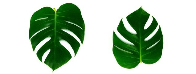 Fototapete - Monstera miltiple leaves leaves isolated on white background. flat lay design