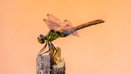 closeup of dragonfly on unicolored clean background