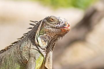 Iguana- Reptile