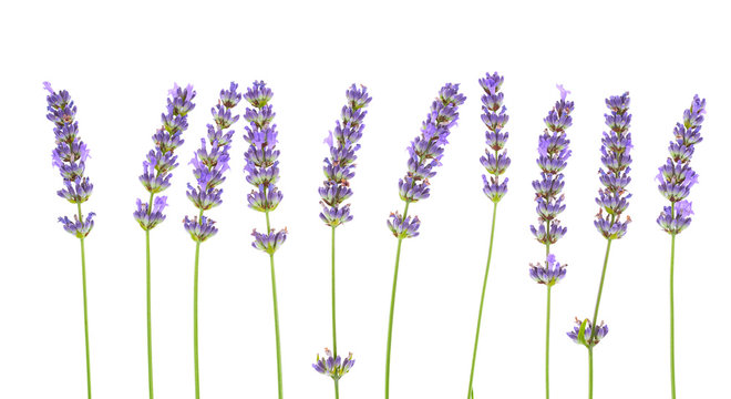 Lavender flowers isolated on white background.