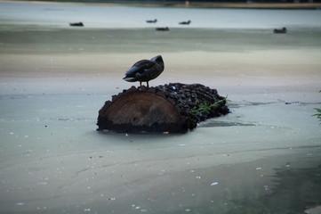 Obraz wyobcowana samotna kaczka dziwaczka  na balu drewna płynąca po mętnej wodzie z dala od towarzystwa - fototapety do salonu
