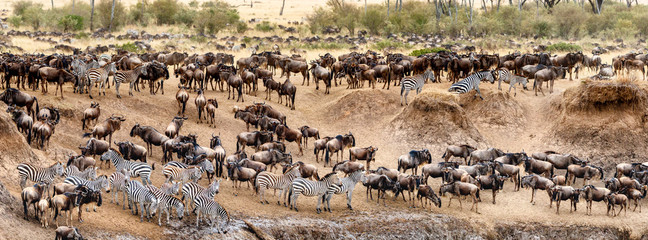 Wildebeest and Zebra Migration Web Banner Wall mural