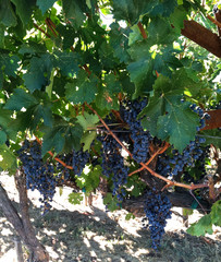 Napa Purple Grapes Vine