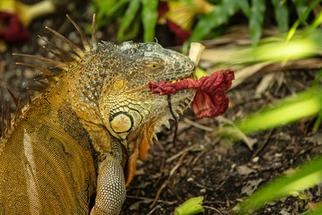 adult iguana enjoys a flora dinner